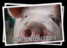 Cómo son los cerdos